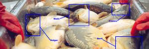 Ansigtsgenkendelse på fisk